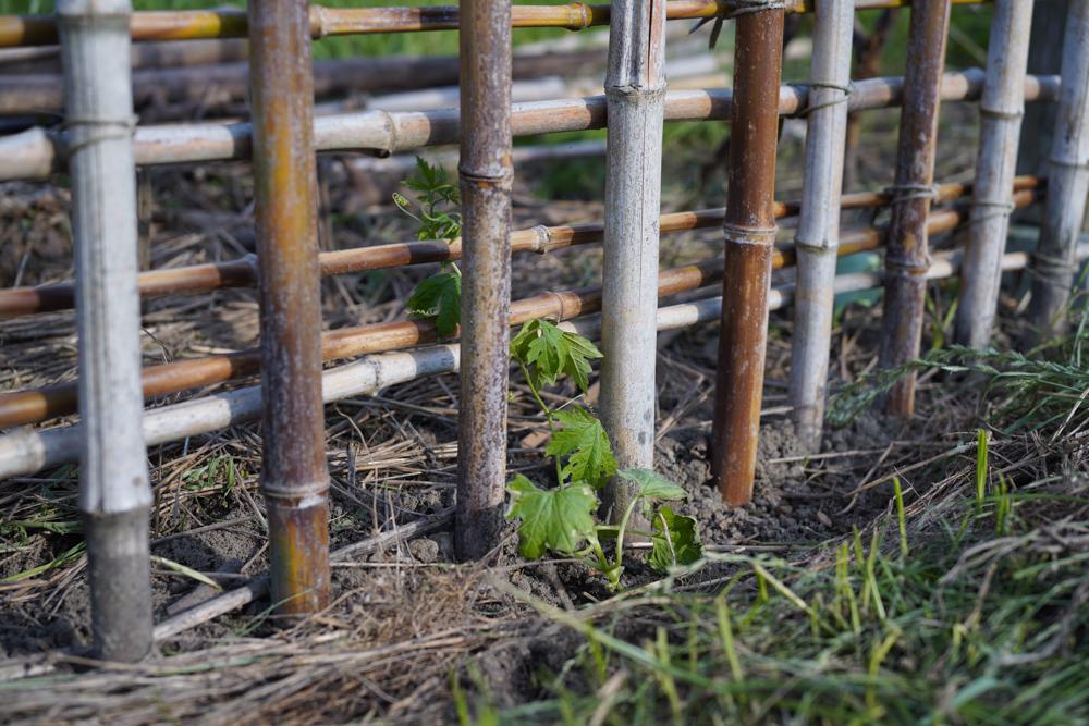 蒸し暑くてバリ島気分な房総フィールドで、ひたすら草をむしりと買ってきた苗を植える