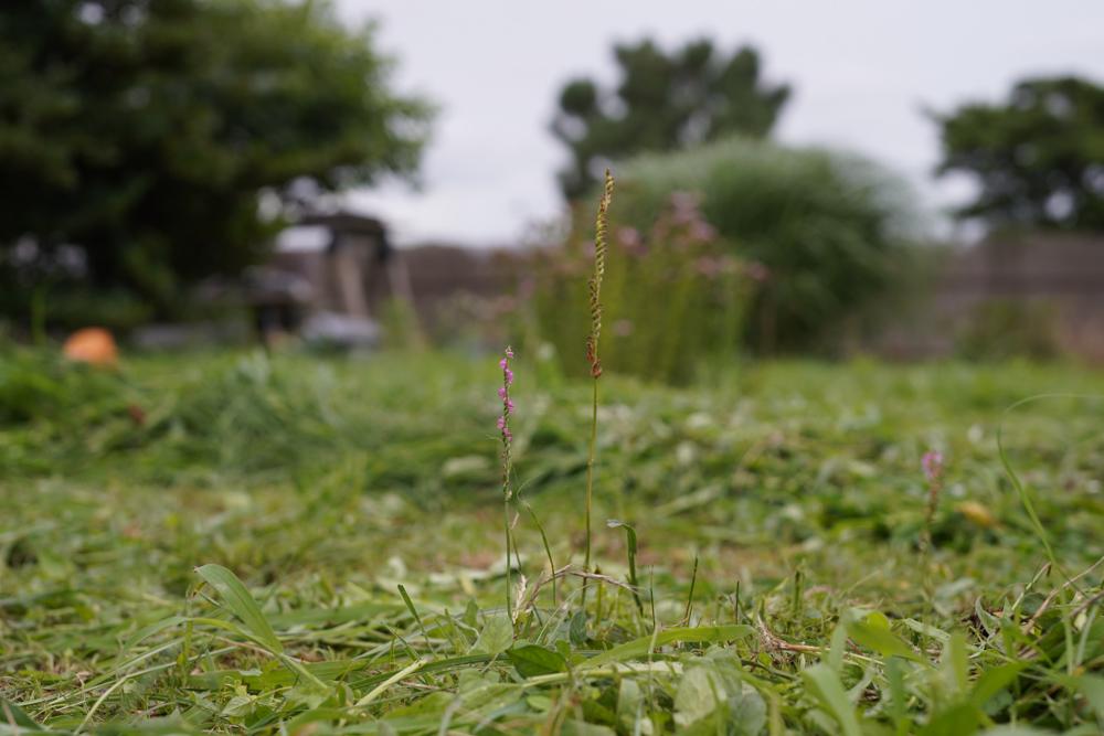七夕、草刈り、途方に暮れるカエル