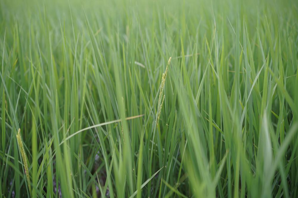 ひまわりと稲の花咲く
