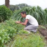 夏野菜の収穫始まる