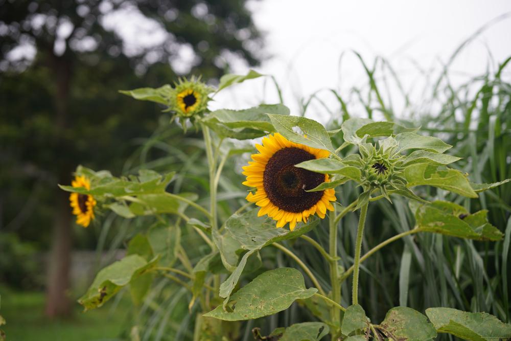 草刈りと7月下旬の田んぼの様子