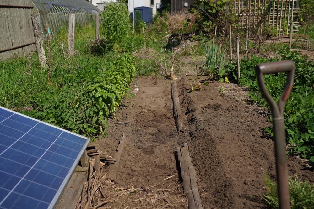 ハマスゲ抜きと小豆の定植
