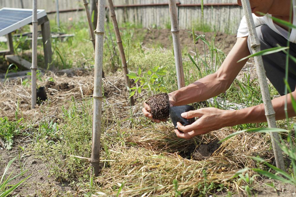 イタリアントマトの苗を定植