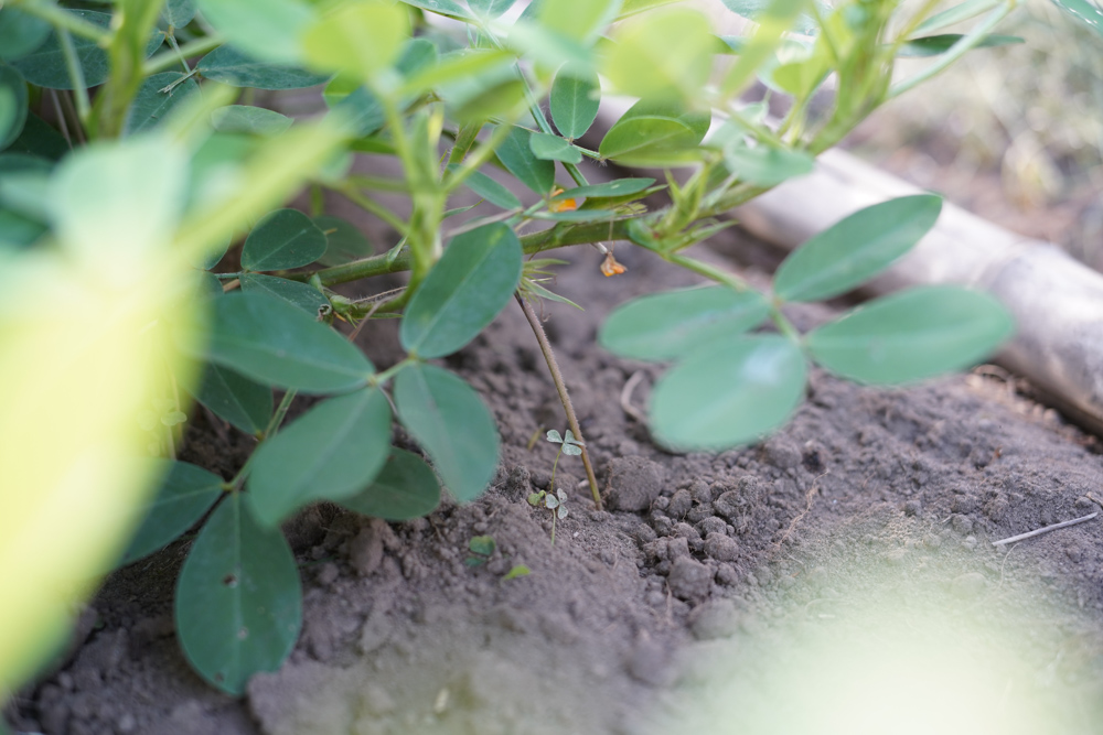 小豆の定植第2弾、害獣ネットを張る