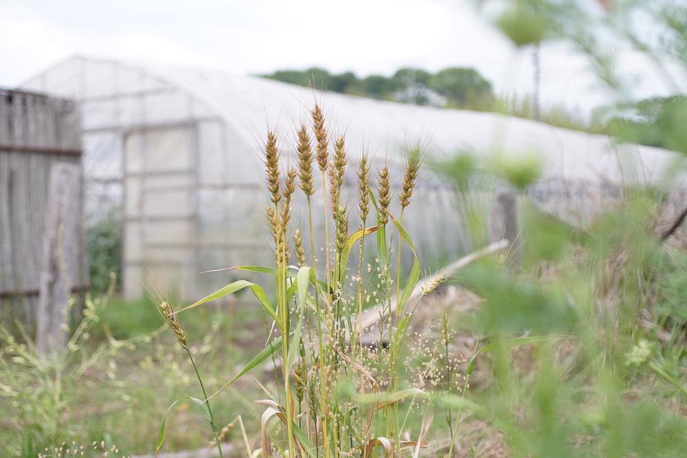小麦収穫前
