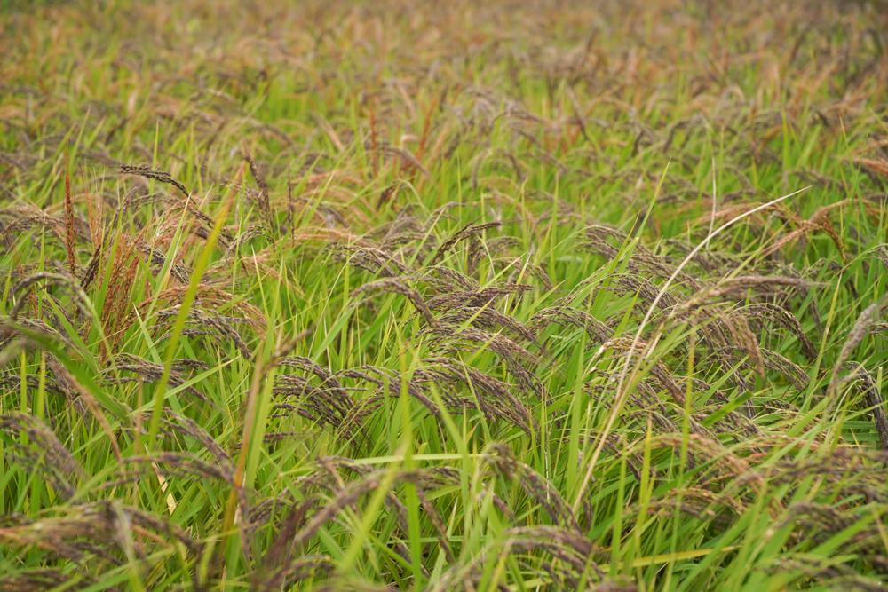 秋分の日に古代米の稲刈り