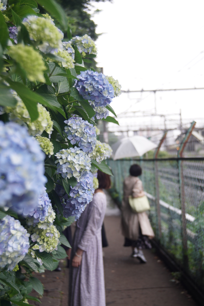 Angenieux 35mm F2.5と紫陽花