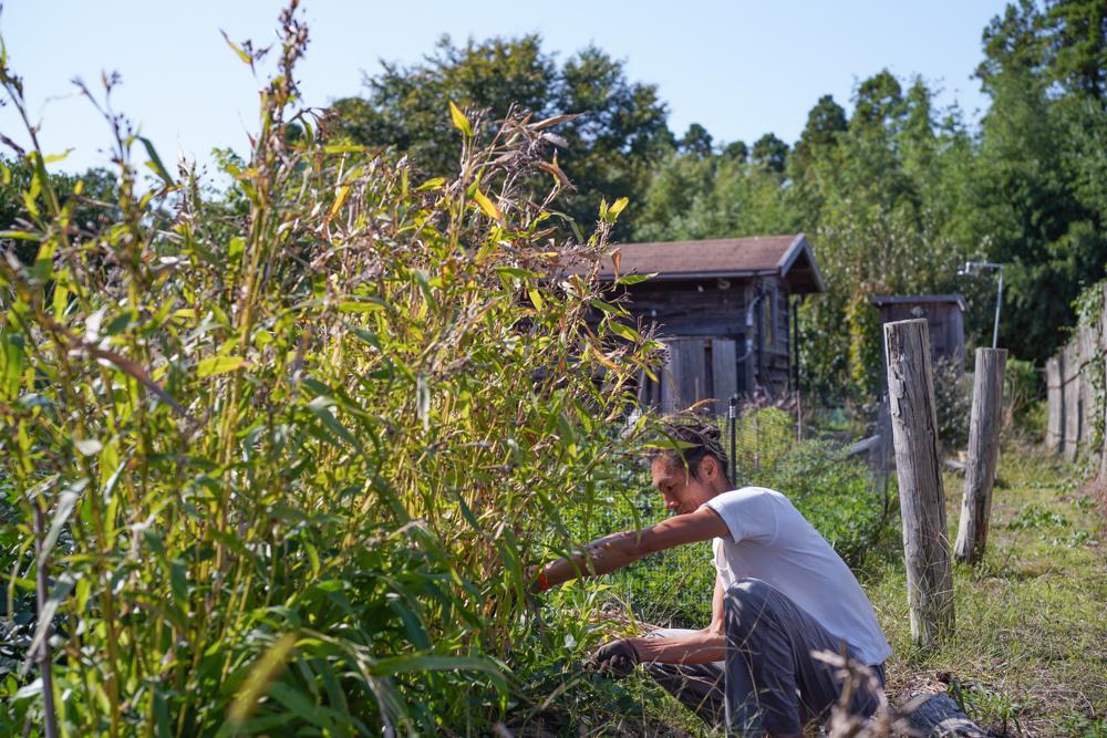 そら豆の種下ろしとはと麦の収穫