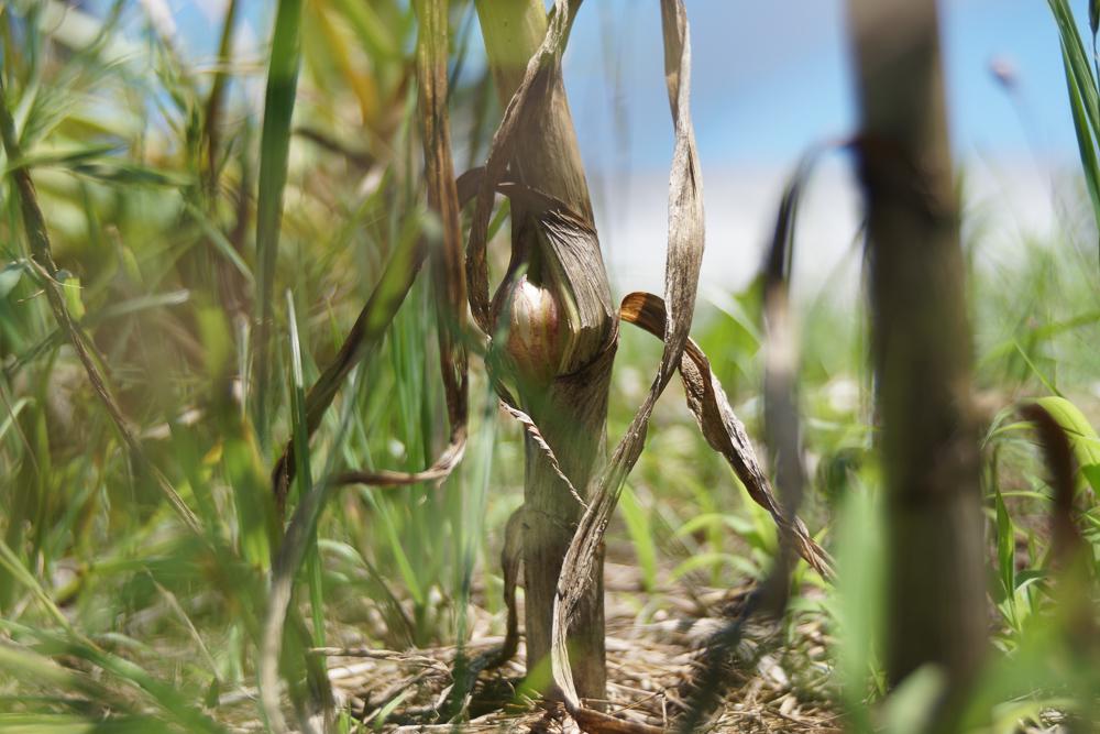 ニンニクの収穫 脇芽?