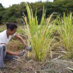 2020年秋の収穫祭 謎の植物 真菰(まこも) マコモダケを収穫して頂く
