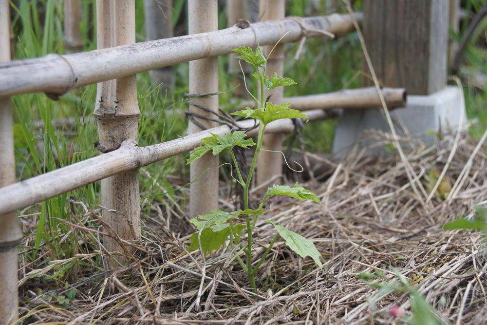 ゴーヤの採種 苗の定植