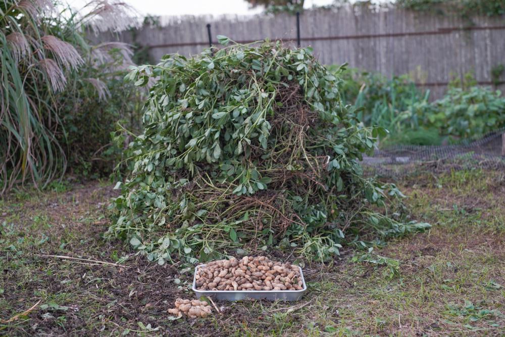 2020年秋の収穫祭 落花生 ピーナッツの収穫 DAY1