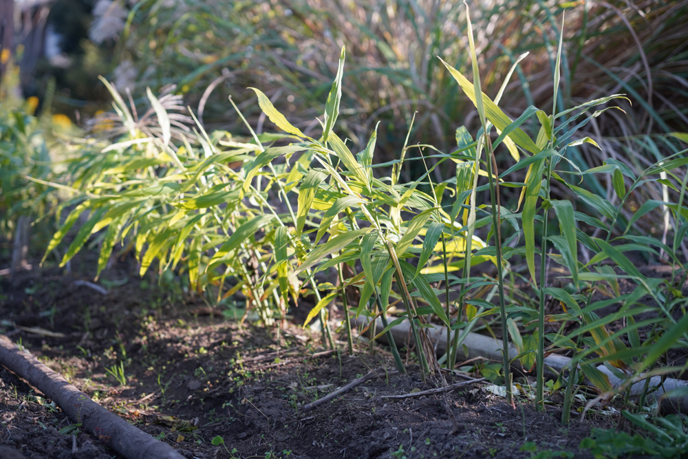 2020年秋の収穫祭 生姜の収穫DAY1