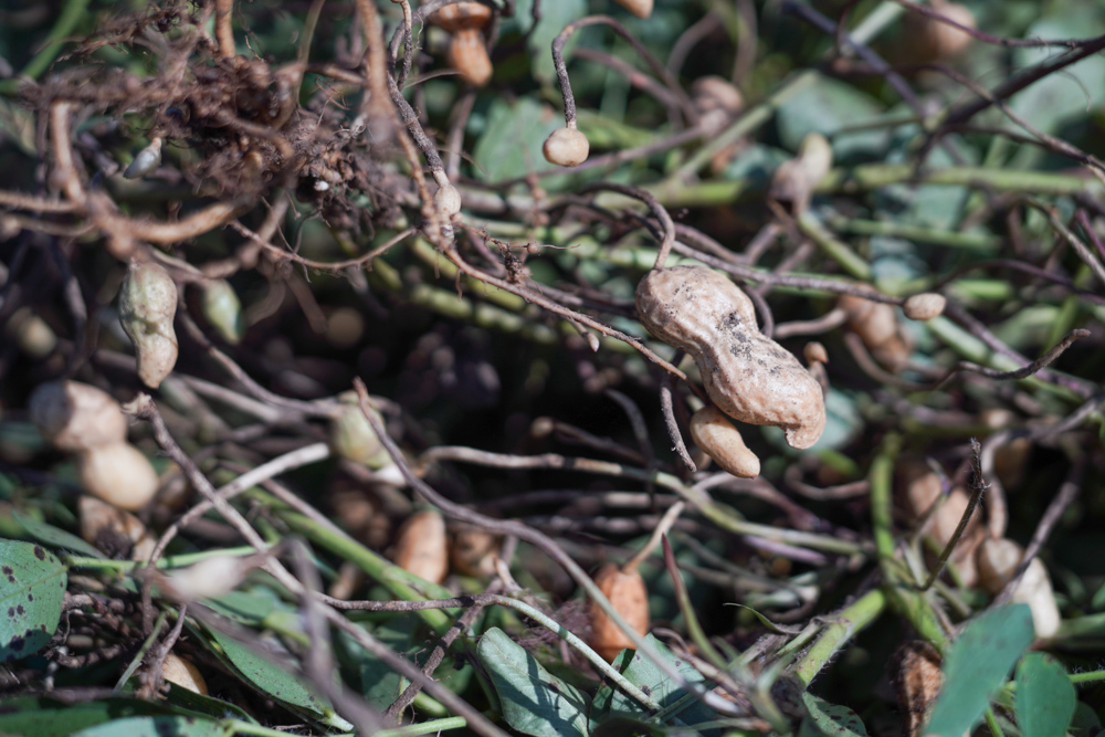 2020年秋の収穫祭 落花生 ピーナッツの収穫 DAY2+玉ねぎの苗を定植