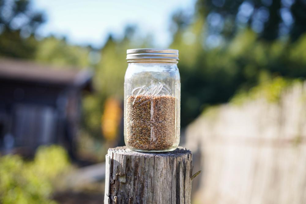 2020年 小麦ともち麦の種下ろし