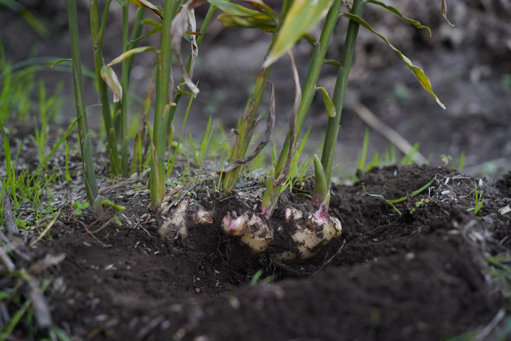 2020年秋の収穫祭 生姜の収穫DAY2+もち麦・小麦の種まき2回目
