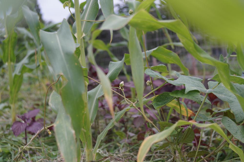 植物の叡智の守り人 三人姉妹の物語 トウモロコシに絡みつくインゲン豆
