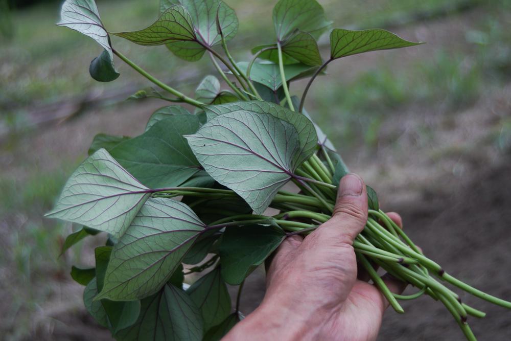 安納芋の苗