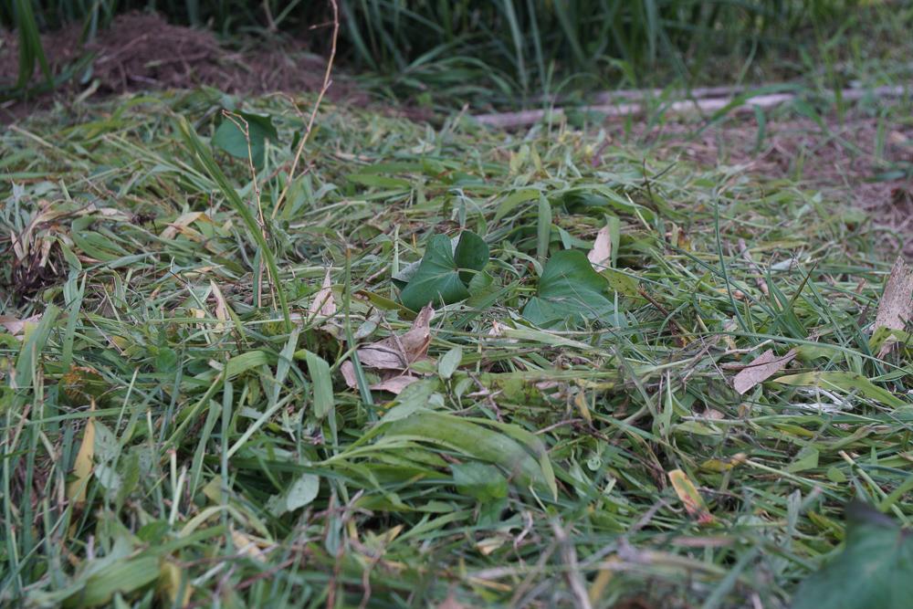 雑草を畑に敷き詰める
