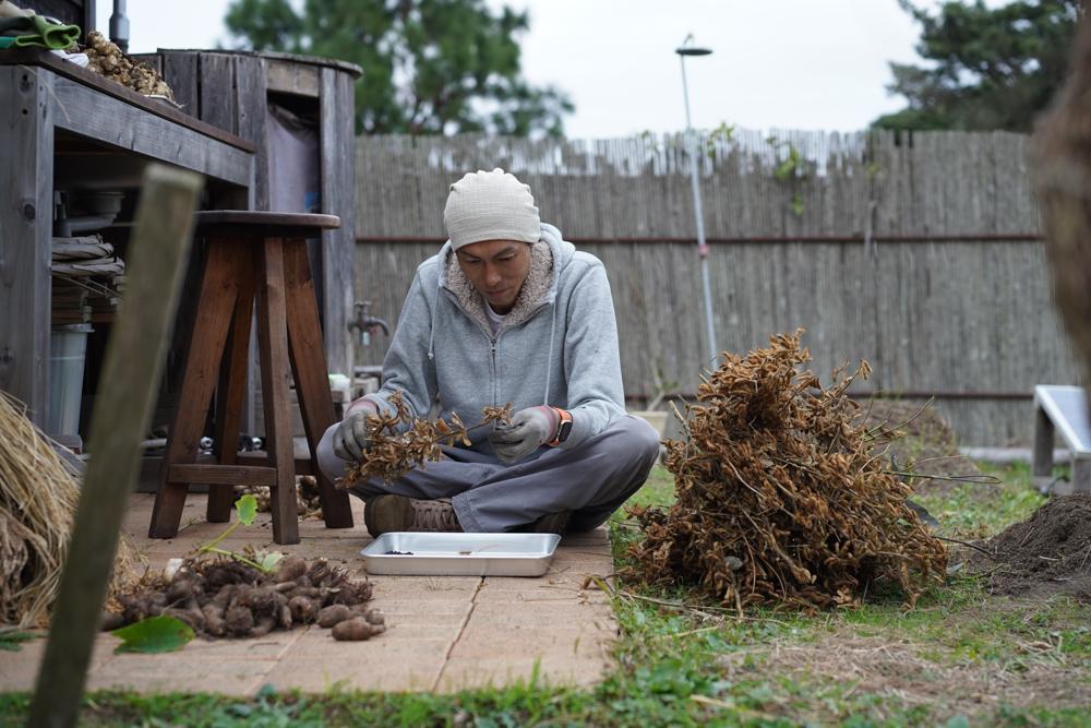 2020年秋の収穫祭 キクイモ・里芋・黒千石大豆の収穫開始
