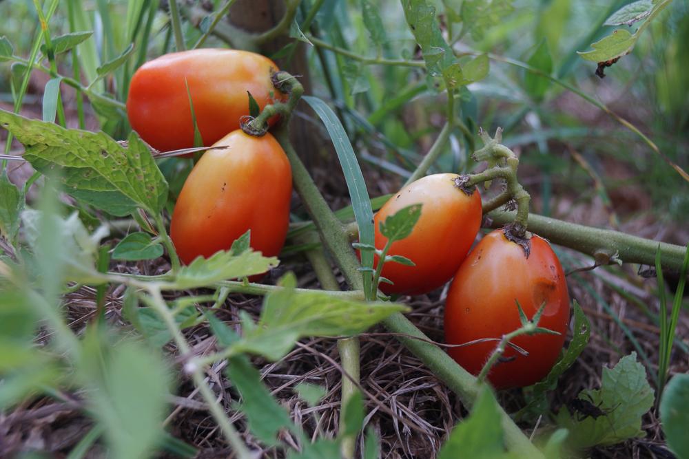 イタリアントマトの収穫