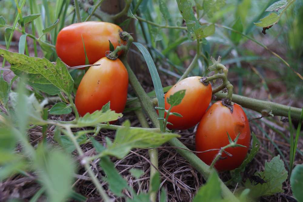 房総フィールドガーデン 雑草農法 イタリアントマト