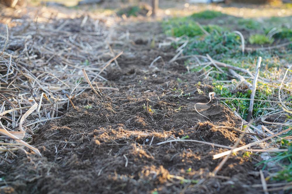 早春の里芋掘り