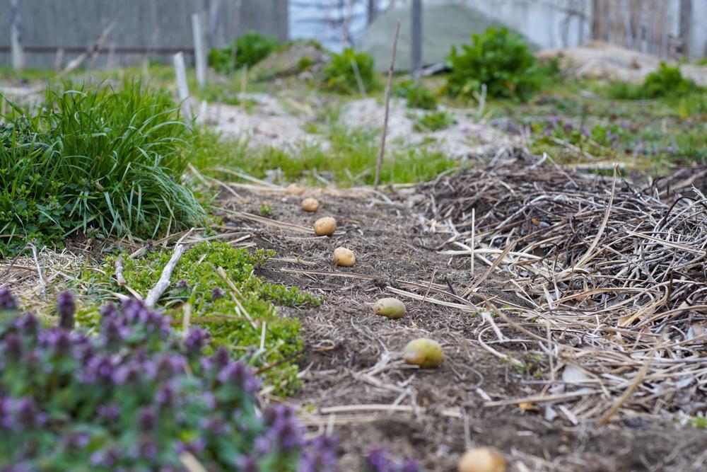 春の田おこしDAY5+ジャガイモの植え付け