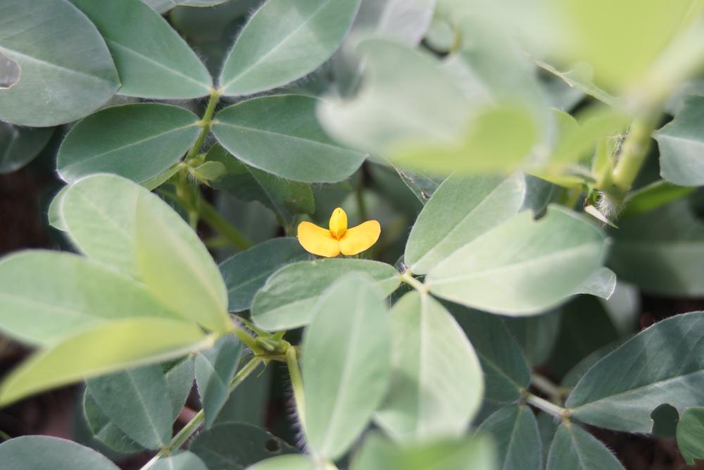 房総オルタナティブガーデン 落花生の花