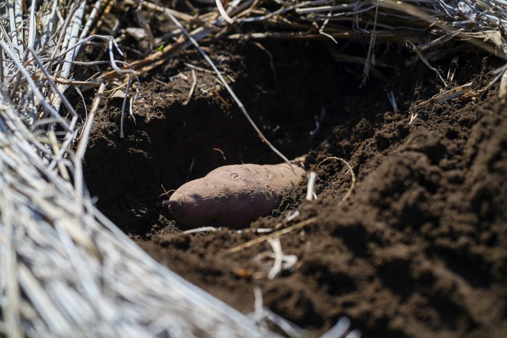 春のタネおろし 早生黒茄子・長茄子・ピーマン・唐辛子・ズッキーニ・コールラビ・バジル・ブラックトマト・ルートパセリ、さつまいもの芽出し 種芋を土に戻す