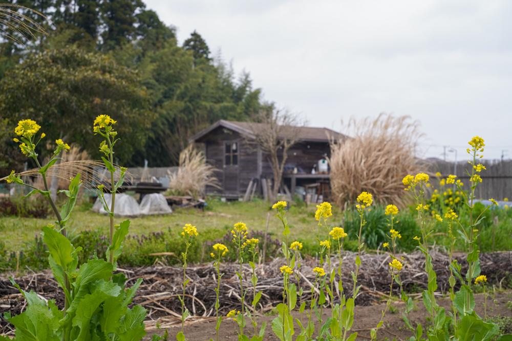 ニンニク畑の雑草取りと大浦ゴボウの種おろし