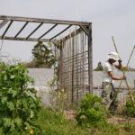 インゲン豆の支柱を立てて種まき+小松菜の種まき