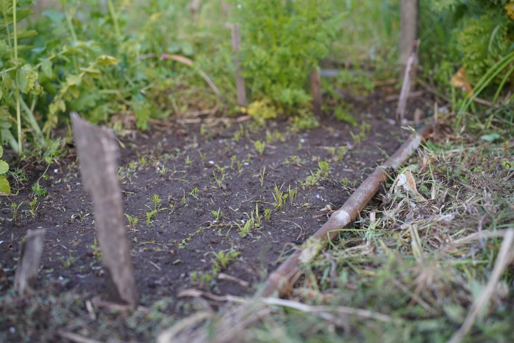 畑の雑草取りと里芋の種芋植え付け