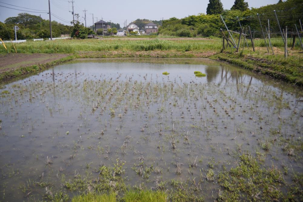 房総オルタナティブライスフィールド 2021年田植え DAY3 ガメラ現る!