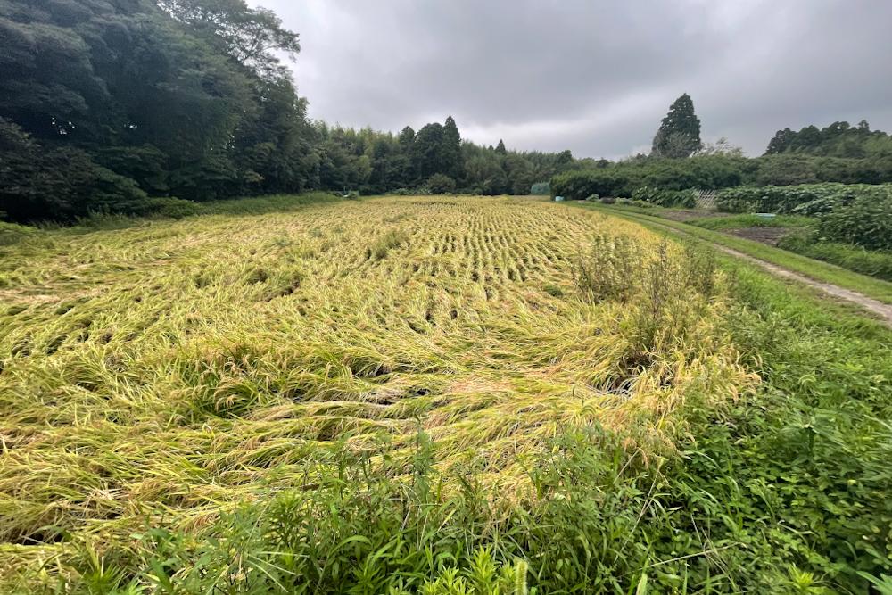 手植えした田んぼと機械で植えた田んぼ