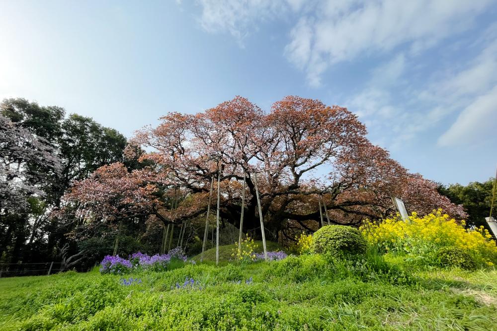 樹齢300年 房総の一本桜 吉高の大桜