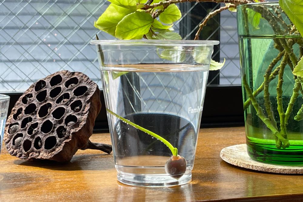 蓮をタネから育てる Phase1 種の水に浸す〜発芽〜田んぼの荒木田土をポットに入れて植付け
