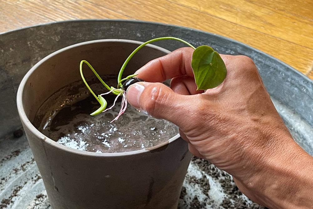 蓮をタネから育てる Phase1 種の水に浸す〜発芽〜田んぼの土をポットに入れて植付けとフリーエネルギーに想いを馳せる