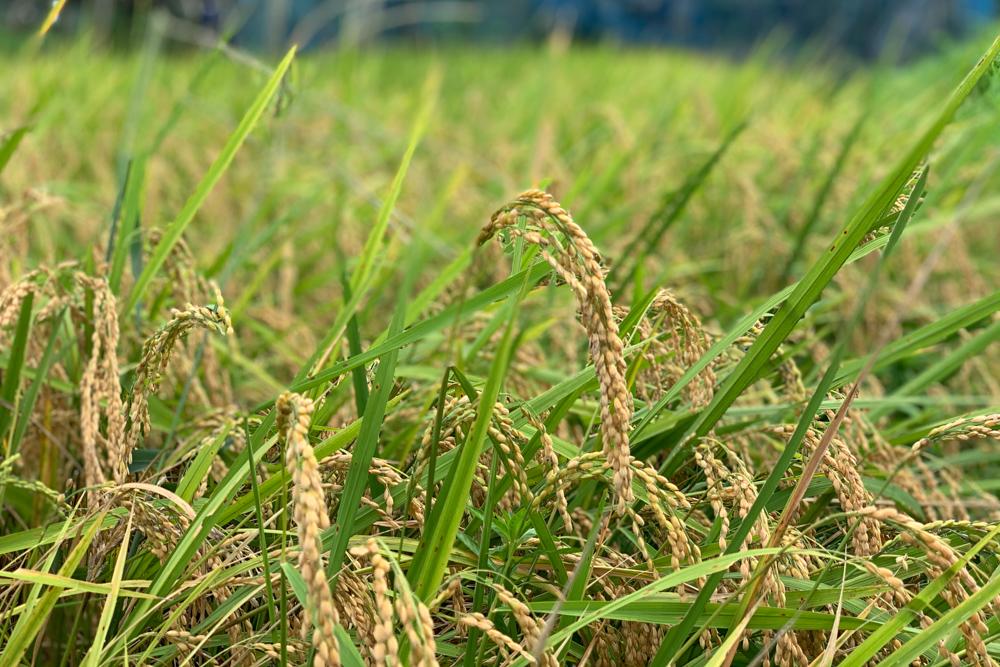 房総オルタナティブライスフィールド 稲が実る お試し稲刈りと「はざ掛け」の準備
